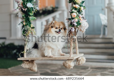 Little Fluffy Pomeranian Dog Sitting On Stock Photo Edit Now