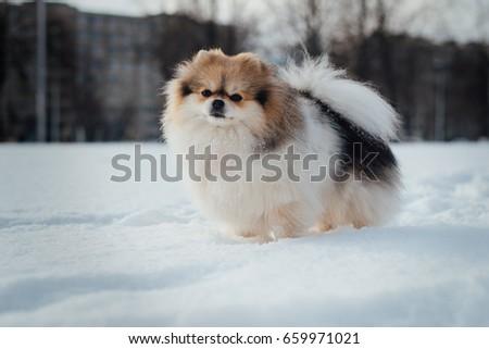Little Fluffy Pomeranian Puppy On White Stock Photo Edit Now