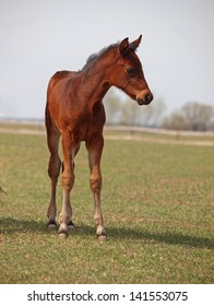 A little foal meets with the surrounding world on a pasture