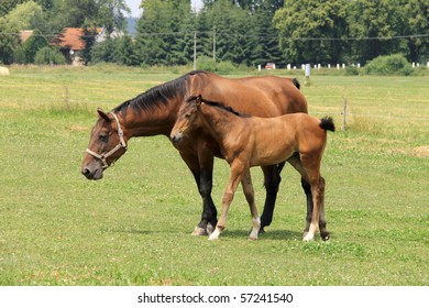 The little Foal with your Mother on the green Pasture