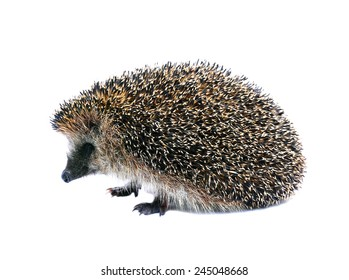 Little forest hedgehog lying on his back isolated on white background