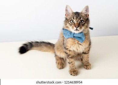 Little four month mixed breed kitten with blue bow tie