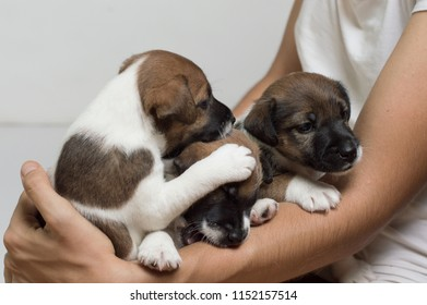 Little fox terrier puppies on the hands are played