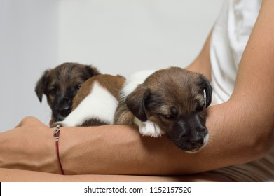 Little fox terrier puppies on hands