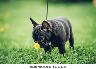 A little french bulldog puppy is having a walk in the park. Sniffing the flower