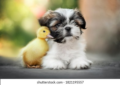 little friends - shih tzu puppy and cute yellow duck