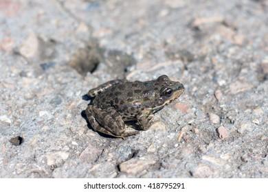 little frog. Marsh frog. European grey toad of gray soil,spring amphibians.