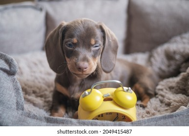 little funny dachshund puppy playing with yellow vintage alarm clock