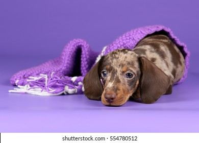 Little funny puppy dachshund on a purple background