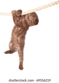 a little funny scottish fold kitten is hanging on the rope. isolated on a white background