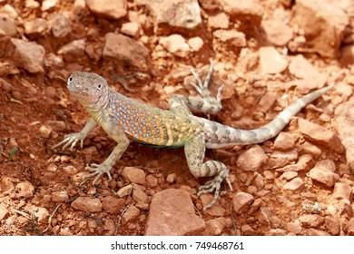 Little Gecko sunbathing and hunting for food in Sedona, Arizona