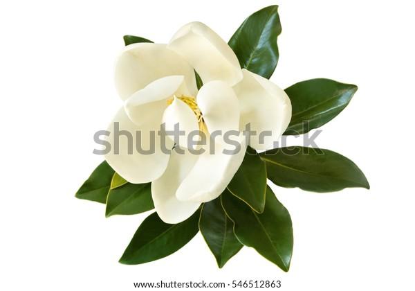 Маленькая магнолия драгоценный камень. Разнообразие карликовых магнолии Grandiflora. Также называется Эвергрин, Булл Бэй, Лорел и Лоблолли. Закрыть изображение цветка с листьями, изолированными на белом фоне.