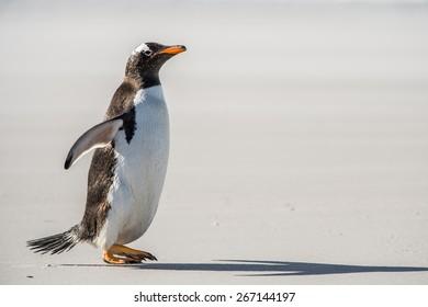 Little gentoo penguin portrait