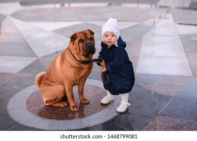 A little girl in a blue coat and a white hat holds on a leash a big red dog Shar Pei on the square