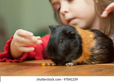 Little girl feeding guinea pig on table at home
