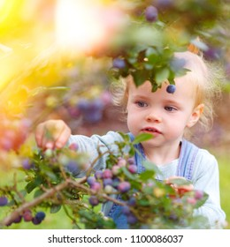 little girl gathering blueberries