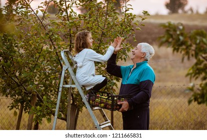 Little girl and grandfather picking apples from tree on sunset. Child on ladders, having fun with senior adult, grey hair man. Autumn. Smiling. High five hands. Love. Education. Growing up, happy.