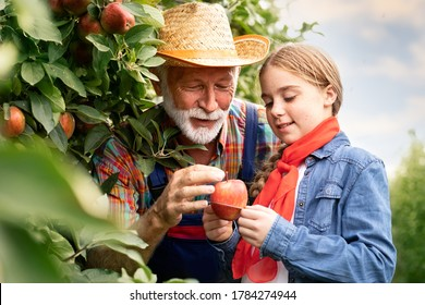 Little girl with grandfather sorting apples after picking them in the apple orchard.
