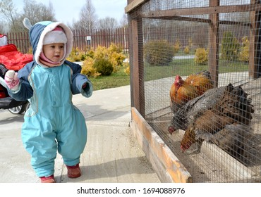 Little girl looks at the hens of the Vietnamese breed Kokhinhin in the aviary