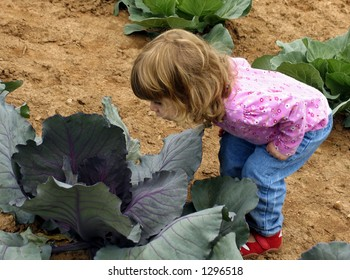 Little girl peering into cabbage in a garden