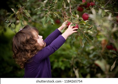 Little Girl Picking Apples in Orchard