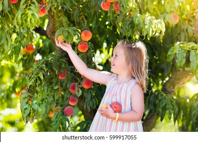Little girl picking and eating fresh ripe peach from tree on organic pick own fruit farm. Kids pick and eat tree ripen peaches in summer orchard. Child playing in peach garden. Healthy food for kid