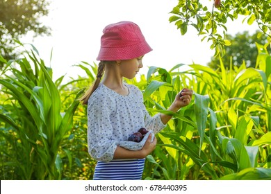 Little girl picking up plums in the lap in a garden