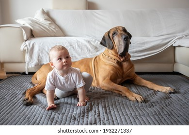 Little girl playing with big dog in home living room in white color. Dog is fila brasileiro breed. The concept of lifestyle, childhood, upbringing and family
