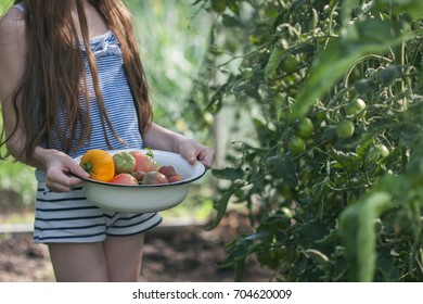 A little girl in a summer hat collects ripe organic tomatoes in a greenhouse. Selective focus