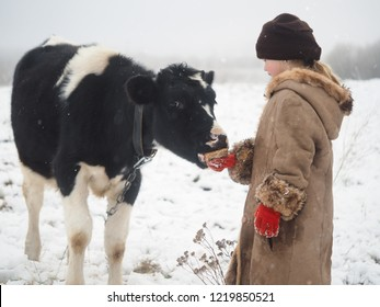 A little girl treats a big cow with bread. Snow, winter, cold