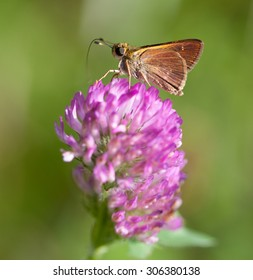 Little Glassywing Skipper (Pompeius verna) on Red Clover (Trifolium pratense)