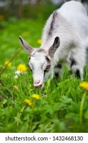 Little goat eats grass on a green lawn