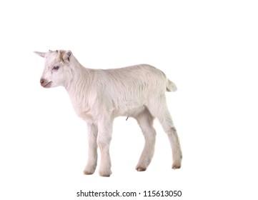 little goat isolated on white background