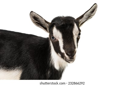 little goat isolated on white background