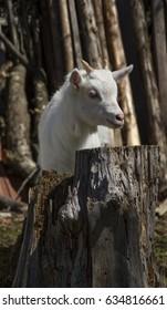 little goat  looking