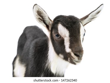 little goat on a white background