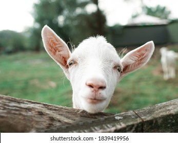 Сute little goat posing for a photo. Looking at the camera. At the bottom of the image wooden fence, green grass.