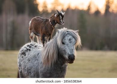 Little goat riding appaloosa pony. Friendship of pony and goat. Funny animals.