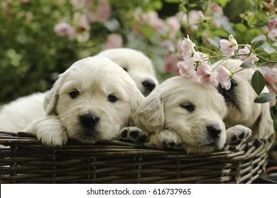 Little Golden retriever puppies in basket in summer pink rose garden outdoor