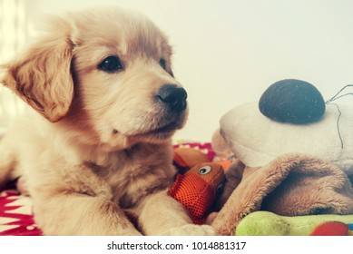 Little golden retriever puppy playing with his toys and looking for his owner