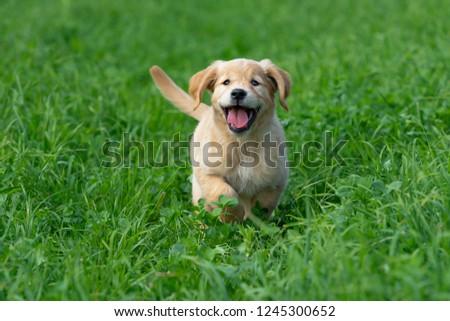 Little Golden Retriever Puppy Running Through Stock Photo Edit Now