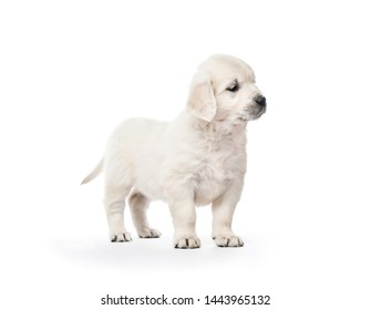 Little golden retriever puppy side view isolated on white background