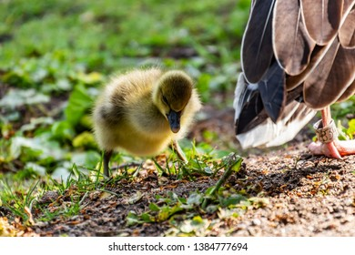 little goose in the park