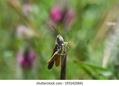 Little grasshopper in grass. Close up shot of a grasshopper