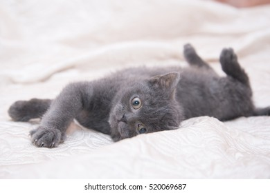"""The little gray kitten """"British"""" rests on a white bed."""