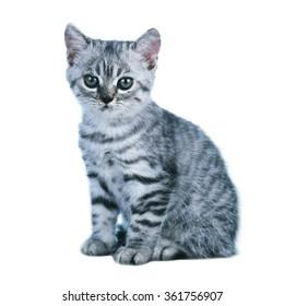 Little gray kitten  isolated on white background.