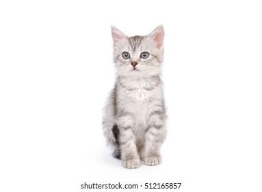 Little Gray Kitten isolated on white