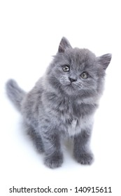 Little gray kitten playing isolated on white background