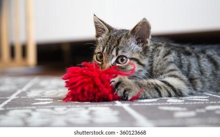 Little gray kitten portrait.