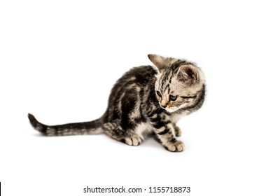 Little gray kitten of Scottish straight breed lies isolated on white background and looking away.